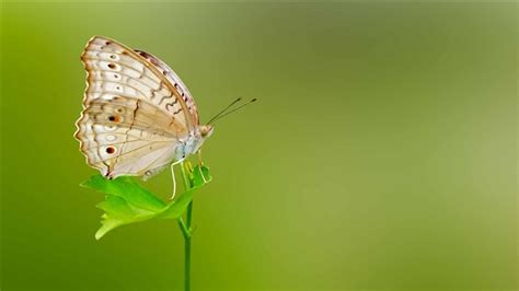 butterfly wallpaper for macbook butterfly green background mac wallpaper download free