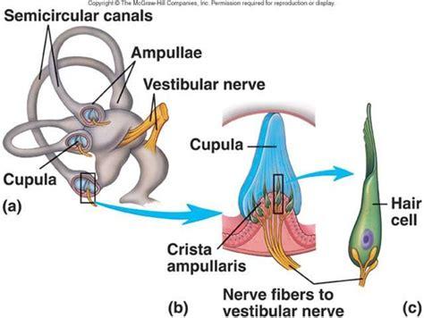 Define Cupula Ear Nose Sinus At Touro College Studyblue