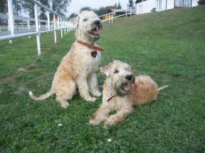 soft coated wheaten terrier dog breed information soft coated wheaten terrier dog breed information puppies