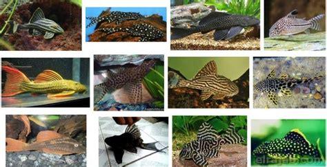 Makanan Ikan Hias Sapu Sapu 32 jenis ikan sapu sapu hias di indonesia dan dunia