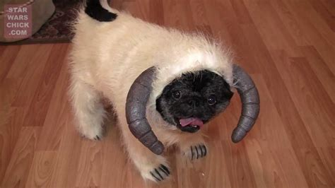 wars pug costume can there be anything cuter than a pug wearing wa costume lol