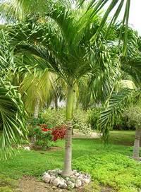 christmas palm tree care myideasbedroom com