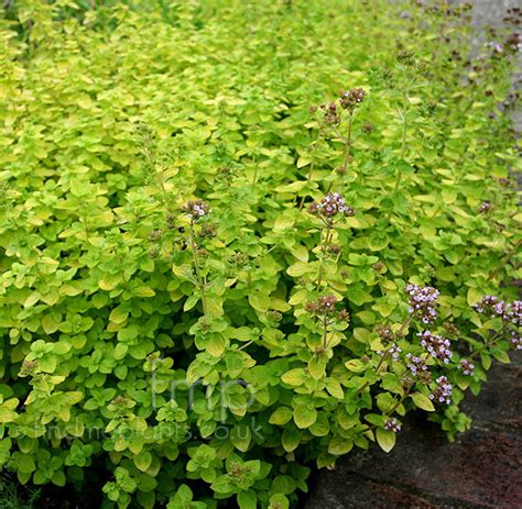 Dark Foliage Plants - plant pictures origanum vulgare aureum oragino