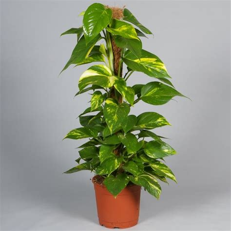 zimmerpflanzen dunkel zimmerpflanzen f 252 r wenig licht efeutute gruen blaetter