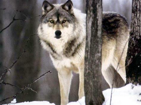 wolf s wolf