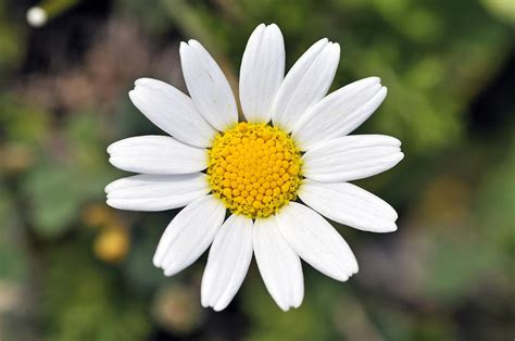 daisy flower daisy flower part 2 weneedfun