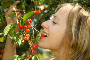cherry tree kansas kansas sweet cherry sweet cherry trees willis orchards
