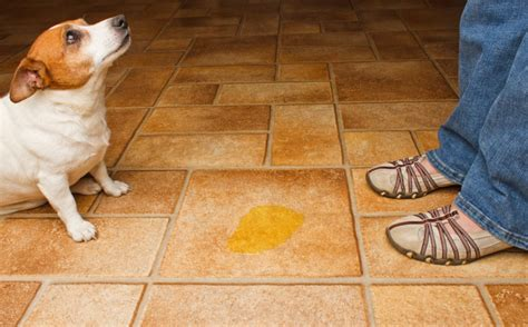 old dog pees in house ask the trainer solving common housebreaking problems the dogington post