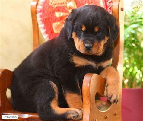 rottweiler puppies for sale pennsylvania 42 best images about rottweilers on hercules pennsylvania and the tree
