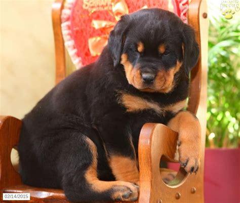 rottweiler puppies fayetteville nc 25 best ideas about rottweiler puppies for sale on german rottweiler