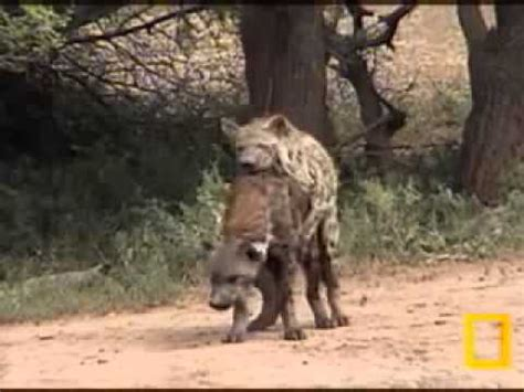 apareamiento animales salvajes africa salvaje como sucede el apareamiento de las hienas