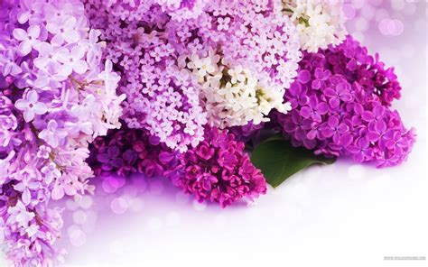 flower ke wallpaper download lilac wallpapers wallpaper cave