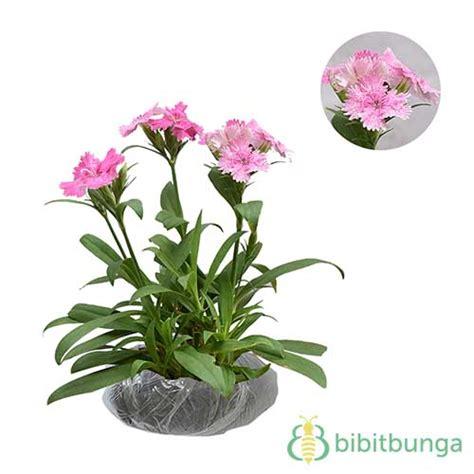 Tanaman Pink tanaman pink baby doll bibitbunga