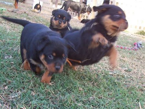 rottweiler growth stages different ages and stages of rottweiler coalfire rottweilers