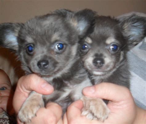 blue chihuahua puppies chihuahua puppies blue reduced brigg lincolnshire pets4homes