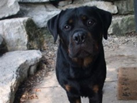 rottweiler rescue shelter rottweiler puppies for sale in pa philadelphia breeds picture