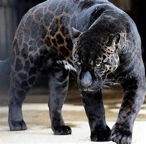 What Are Jaguars Known For Jaguar As You Might Most Jaguars Are Covered In