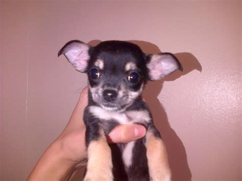Small Dogs Free To Home West Midlands Small Dogs Home Walsall 28 Images Chihuahua Cross