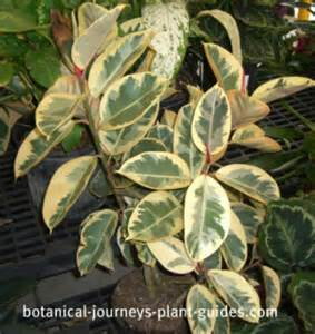Rubber tree plant care propagation amp pruning of ficus elastica
