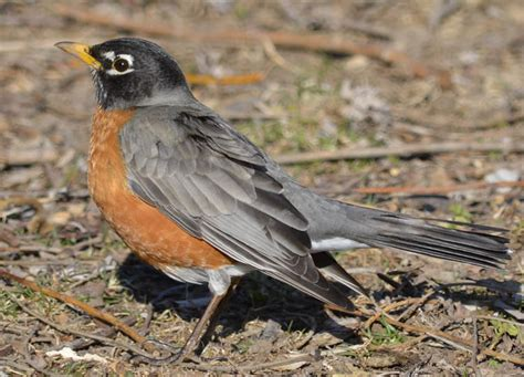 do robins stay the winter in southern ontario natural