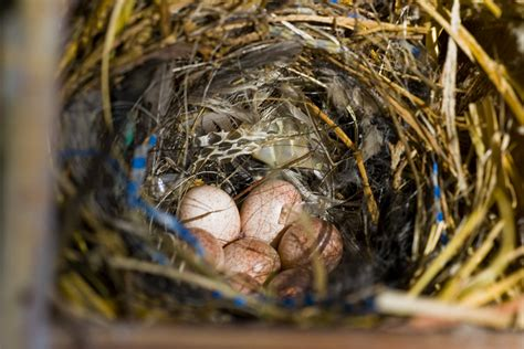 nesting house house wren nest and eggs www imgkid com the image kid has it