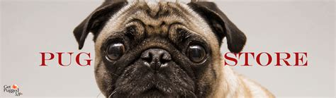 common pug health issues common ear problems in pugs
