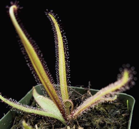 drosera adelae giant cactus jungle