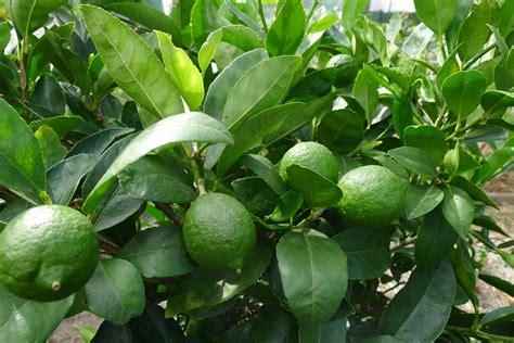 tahitian lime tree hello hello plants garden supplies