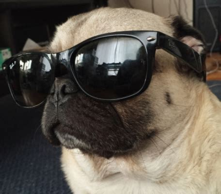 pugs glasses pug with glasses