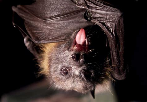 vire bats use heat sensors to find their prey study