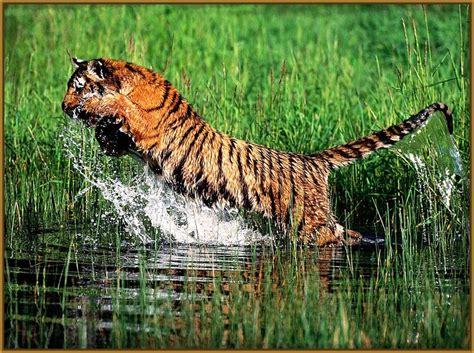 ver imagenes sorprendentes de animales imagenes de tigres salvajes cazando impresionantes fotos