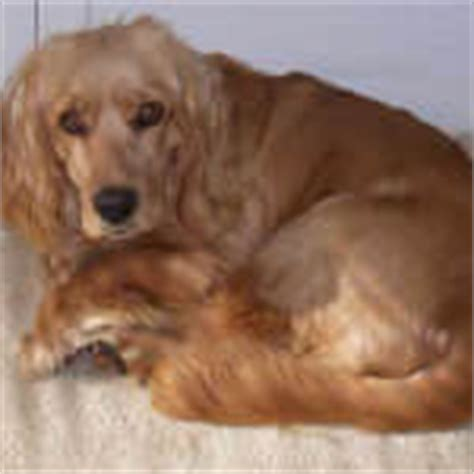 golden cocker retriever size golden cocker retriever breed 187 info pics more