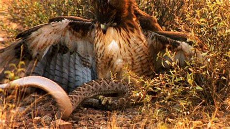 world s deadliest rattlesnake vs hawk