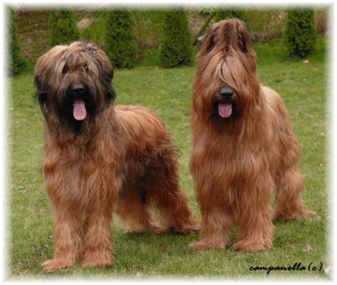 briard puppy the in world briard dogs