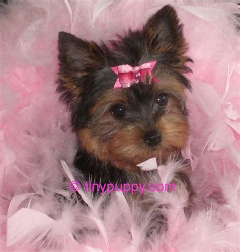 best shoo for yorshireterrierpuppies 1000 images about loveable pets on pinterest