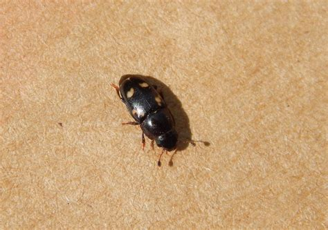 what eats bed bugs www bed bugs treatment electronic pest control devices