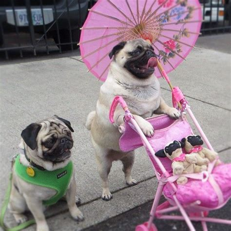pug saves family from 1000 ideas about stroller on pet stroller pet gear and wire crates