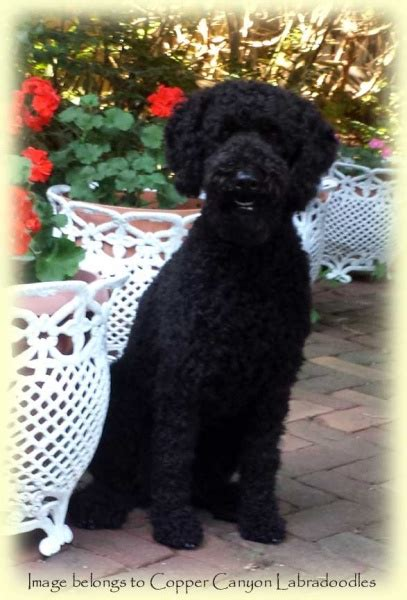 mini goldendoodle ottawa miniature australian labradoodle litters for adoption