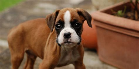 boxer puppies information boxer information characteristics facts names