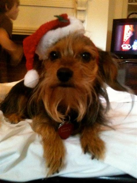 yorkie dotson 17 best images about dorkie dashound yorkie mix on best dogs my and