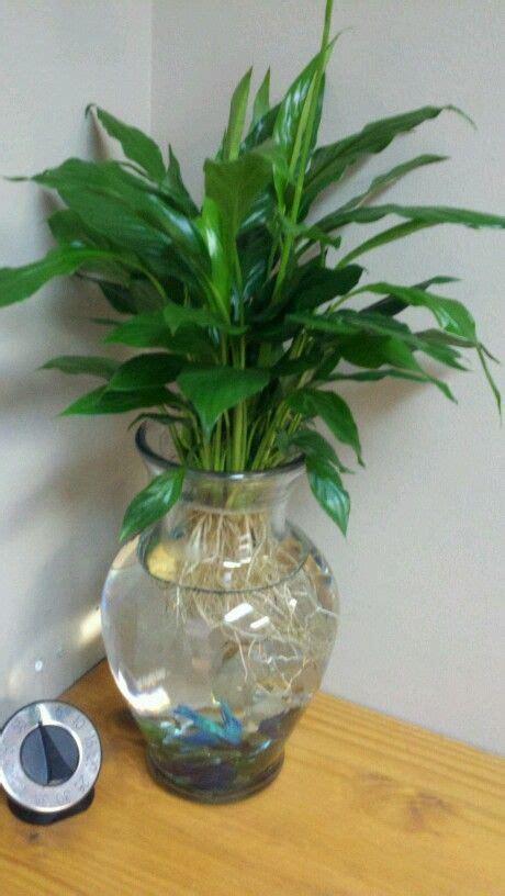 beta fish planter water plants indoor water plants