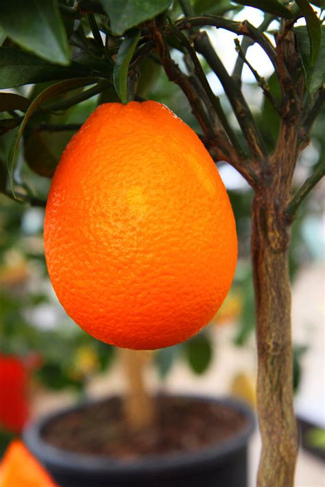fruit trees los angeles citrus are best fruit trees for los angeles the smarter