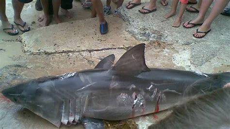 baby shark urban dictionary anger and tears as protected baby great white shark