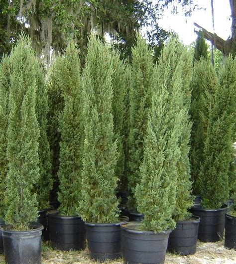 Italian Cypress Tree Facts, Cultivars, Growth Rate