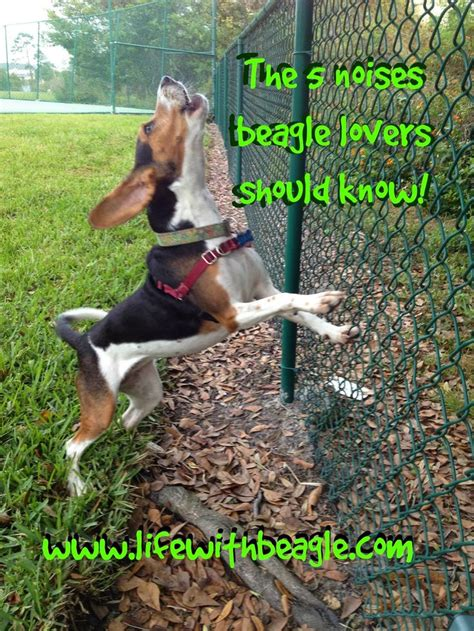 bench leg beagle 17 best images about beagles on pinterest bench legs