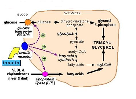 carbohydrates obesity carbohydrates induced obesity biochemistry for medics