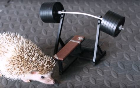 epic bench press watch hedge the weightlifting hedgehog dominate an epic