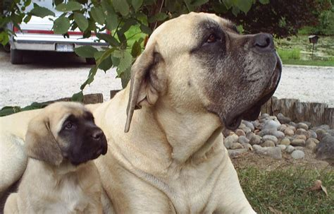 Mastiff Shedding by Mastiff Temperament What To Expect Breeds Picture