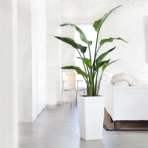 bird of paradise plant potted in modern cubico planter my