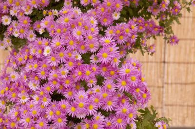 fall blooming plants zone 5 autumn blooming daisy types